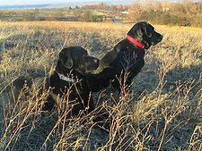 Labrador Retriever.jpg