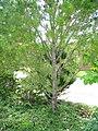 Lacebark Pine (Pinus bungeana) at Cleveland Botanical Garden.jpg