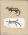 Lacerta azurea - 1700-1880 - Print - Iconographia Zoologica - Special Collections University of Amsterdam - UBA01 IZ12800115.tif