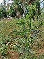 Ladies finger vegetable plant.jpg
