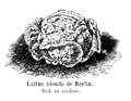 Laitue blonde de Berlin Vilmorin-Andrieux 1904.png