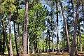 Lake Livingston State Park Pine Trees.jpg