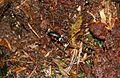 Lalokonosec černý (Otiorhynchus coecus).JPG