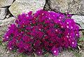 Lampranthus roseus Pink in Roscoff garden.jpg