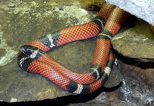 Lampropeltis triangulum 2