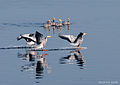 Landing of Bar-headed Goose at Nil Nirjan Lake at Hetampur, West Bengal, India.jpg