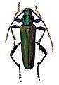 Laosaphrodisium subplicatum - ZooKeys-275-067-g002-15.jpeg