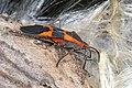 Large Milkweed Bug - Oncopeltus fasciatus, Meadowood Farm SRMA, Mason Neck, Virginia (44527006075).jpg