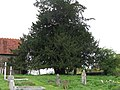 Large Yew tree in Bignor cemetery - geograph.org.uk - 1248002.jpg