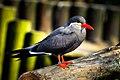Larosterna inca (Inca Tern - Inkaseeschwalbe) Weltvogelpark Walsrode 2012-016.jpg