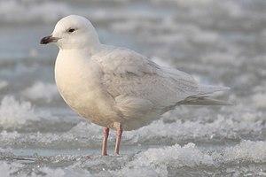 Iceland Gull Larus glaucoides hvidvinget måge Måge