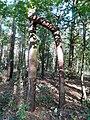 Las koło Obornik. Zrośnięte drzewa.jpg
