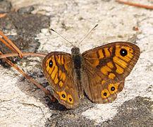 217px-Lasiommata_megera_LC0066 dans PAPILLON
