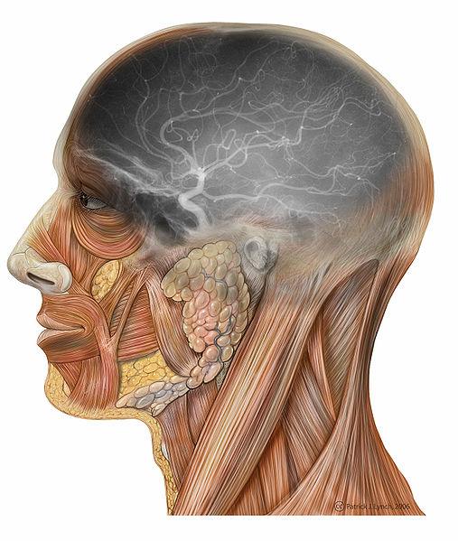 File:Lateral head angiogram.jpg