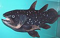 Latimeria chalumnae (model) (coelacanth) 1 (15695435636).jpg