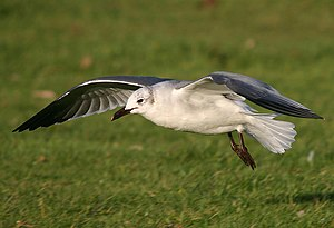 Vagrancy (biology) - Laughing gull, a species of the Americas, photographed in Wales.