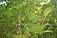 Laurus nobilis 11zz.jpg