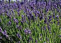http://upload.wikimedia.org/wikipedia/commons/thumb/9/93/Lavandula-angustifolia-flowering.JPG/120px-Lavandula-angustifolia-flowering.JPG