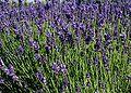 Lavandula-angustifolia-flowering.JPG