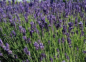 ces plantes qui font du bien. 290px-Lavandula-angustifolia-flowering