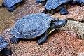 Le Bugue - Aquarium du Périgord noir - Tortue de Floride - 001.jpg