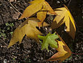 Leaves of Liquidambar orientalis.jpg