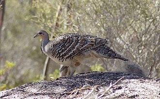 Malleefowl - In Ongerup, Western Australia