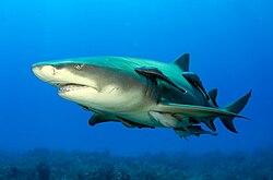 Plusieurs rémoras collés sur le corps d'un requin-citron