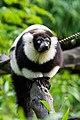 Lemur (26773316049).jpg