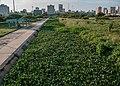 Lenteja Acuatica en el Paseo del Lago, Maracaibo 2.jpg