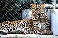 Leopard Kanpur Zoo.JPG