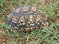 Leopard tortoise (4419175405).jpg