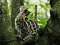 Leopardus pardalis.jpg