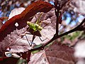 Leptophyes punctatissima 20050818 482.jpg