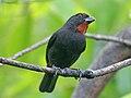 Lesser Antillean Bullfinch RWD5.jpg