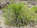 Lesser Candelabra-tree (Euphorbia cooperi) (11619901503).jpg