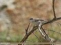 Lesser Whitethroat (Sylvia curruca) (29546312715).jpg