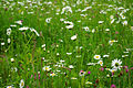 Leucanthemum vulgare, Trifolium pratense, Arrhenatheretum 01.jpg