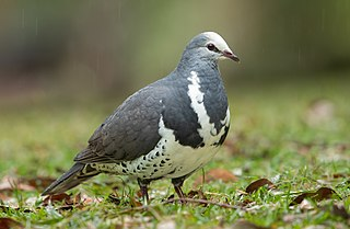Wonga pigeon Pigeon species endemic to Australia