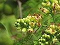 Libidibia coriaria - Divi-divi Tree - Caesalpinia coriaria - WikiSangamotsavam 2018, Kottappuram, Kodungalloor (21).jpg