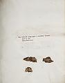 Lichenes Helvetici IX X 1833 027.jpg