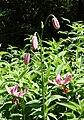 Lilium martagon - VanDusen Botanical Garden - Vancouver, BC - DSC07157.jpg