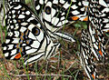 Lime Butterfly (Papilio demoleus) mud-puddling W2 IMG 0268.jpg