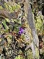 Linaria alpina pyrenees.jpg