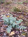 Linaria genistifolia sl12.jpg