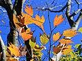 Lindera triloba (autumn leaf color s5).jpg