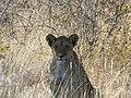 Lion in namibia.jpg