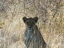 Lion in namibia.jpg