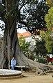 Lisbon, Jardim Botânico da Ajuda, Ficus macrophylla.JPG