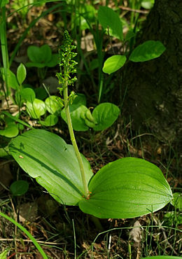 Listera ovata - ear with flowers and leaves.jpg